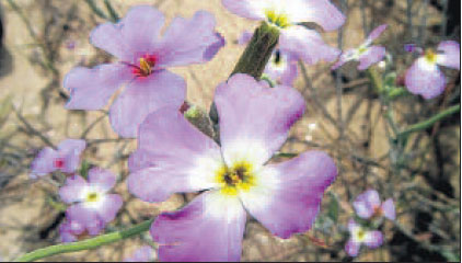 ALHELÍ DE MAR («Malcomia littorea») Planta típica del cordón dunar, leñosa en la base, con muchos tallos y flores púrpuras en primavera. Está en peligro de extinción, y por tanto protegida por la directiva europea Hábitats.