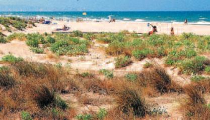 «BORRÓ» («Ammophila arenaria») El «borró» –en primer término– es una gramínea muy importante para las dunas porque fija la arena. Tiene unos rizomas que garantizan su reproducción y le permiten soportar los vientos.