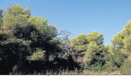 PINO MEDITERRÁNEO («Pinus halepensis») Sus brotes y hojas tiernas se usaban contra el escorbuto, y los calafates su resina para impermeabilizar los barcos. Los piñones son remineralizantes. Su presencia en l'Auir es testimonial.